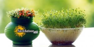 سبزکردن عدس برای عید نوروز