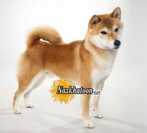آشنایی با سگ نژاد آکیتا