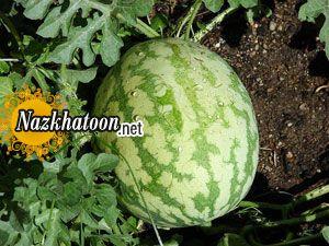 روش کاشت هندوانه در منزل