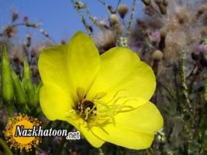 خاصیت دارويي گل مغربي