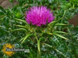 معرفی خارمریم یک گیاه کبدی