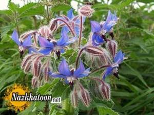 گل گاوزبان دمنوشی برای سرماخوردگی