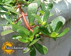 گیاهی برای رفع تشنگی در ماه رمضان