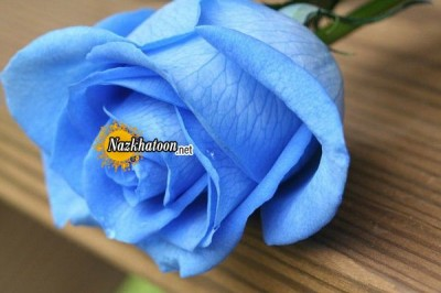 عکسهای شگفت انگیز از گل رز آبی
