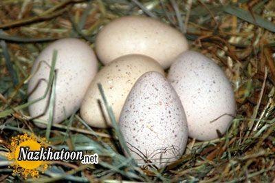 حرف زدن کودکان با تخم کفتر