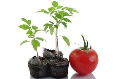 پرورش گوجه فرنگی در خانه