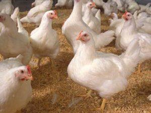 چگونه آنفلوآنزای مرغی نگیریم ؟