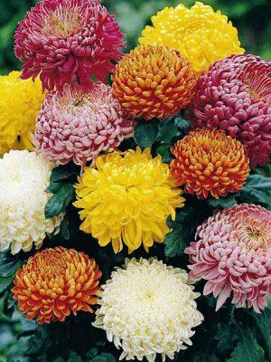 کاشت بذر گل داوودی