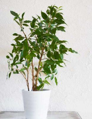 آموزش  نگهداری از گیاه بنجامین